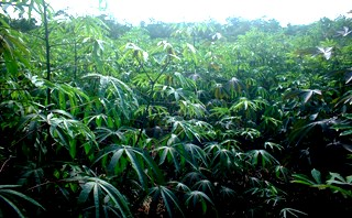 Yuca Plants